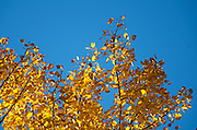 Golden autumn birch leaves backlit against a blue sky, Acadia National Park, Maine.