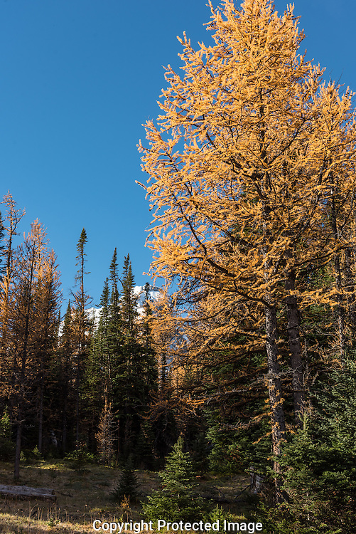 Larch Valley., Alberta, Canada, Isobel Springett
