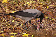 Hooded Crow (Corvus cornix) eats a rat. Photographed in Israel In November