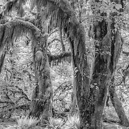 Trees Covered with Moss, Hoh Rainforest, Olympic National Park, Washington