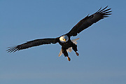 Bald Eagle, Haliaeetus leucocephalus, flying, Kenai Peninsula, Homer Spit, Homer, Alaska. Digital original, #2006_0520 ©Robin Brandt