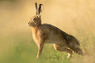 European Hare (Lepus europaeus) adult stretching in grass field margin South Norfolk, UK. September