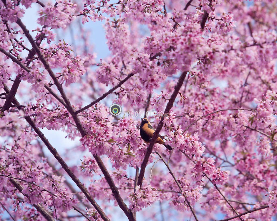 Tangara cayana, conhecido popularmente por saira-amarela, sai-amarelo ou sai-de-asas-verdes, eh uma ave passeriforme da familia Fringillidae. / The Burnished-buff Tanager (Tangara cayana), also known as the Rufous-crowned Tanager, is a common South American species of bird in the Thraupidae family.