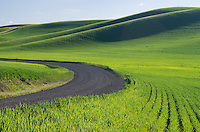 Gravel road running through green wheat fields of the Palouse region of the Inland Empire of Washington