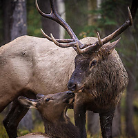 bull and cow elk durning rut personal close up