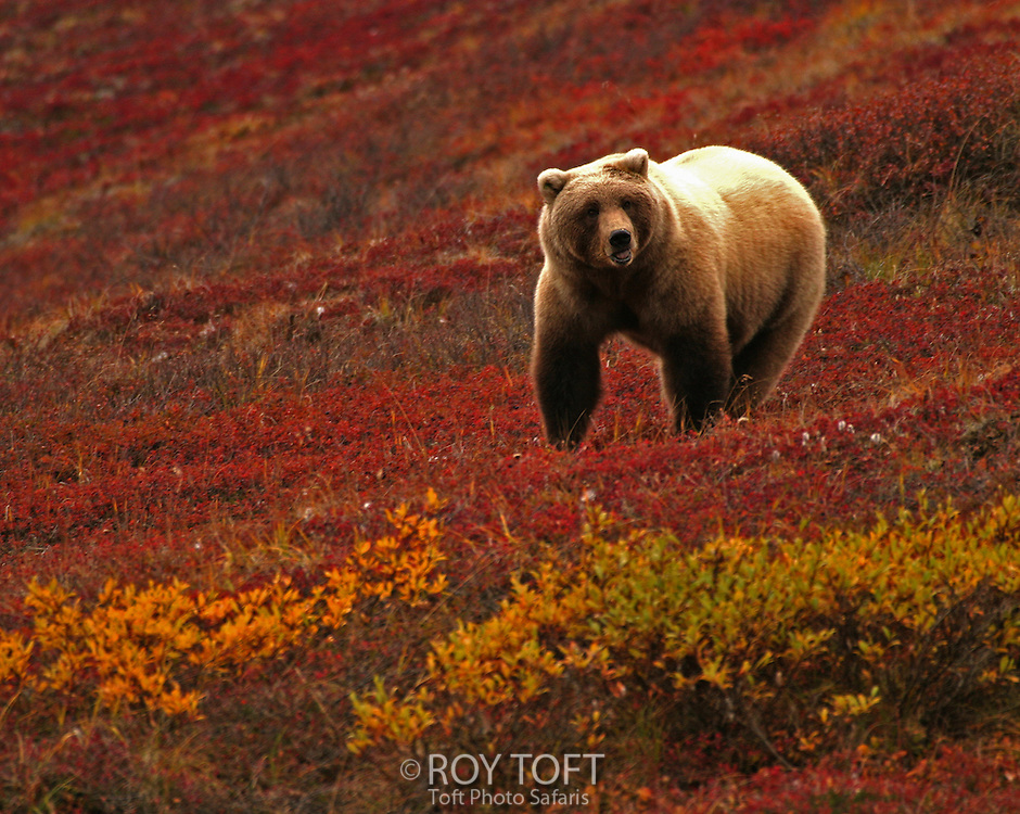 An Alaskan brown bear standing on a tundra with fall foliage.