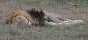 Kenya, Lake Nakuru National Park, sleeping lion