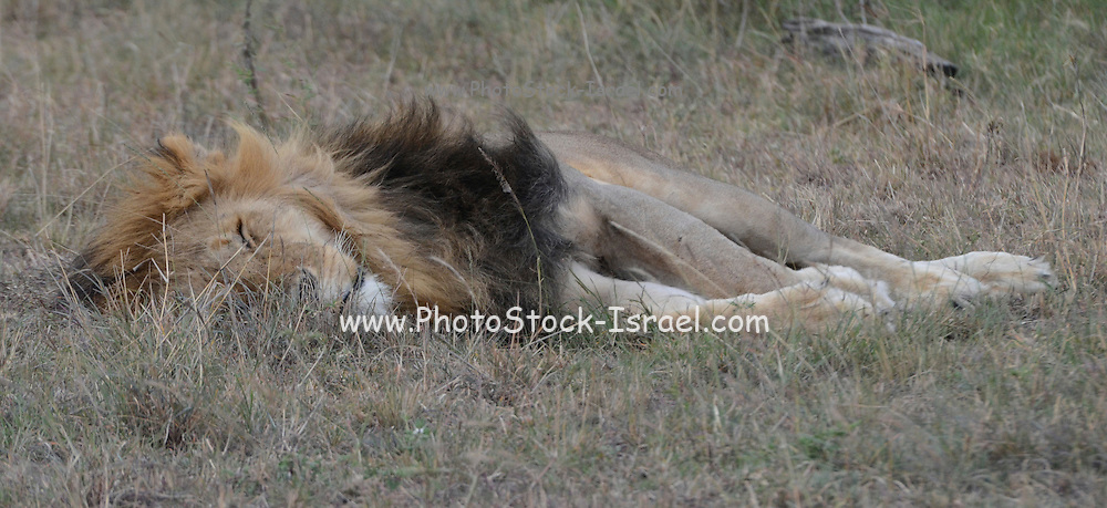 Kenya, Lake Nakuru National Park, sleeping lion
