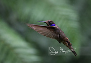 A Brown violetear hummingbird in flight in the Mindo cloud forest.