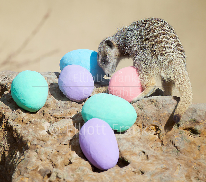 Meerkats' Easter surprise <br /> Animals enjoy egg-citing Easter hunt at ZSL London Zoo, Rehents Park, London, Great Britain <br /> 13th April 2017 <br /> <br /> <br /> <br />  <br /> Zookeepers have shelled out on an egg-stravagant surprise for ZSL London Zoo&rsquo;s meerkat mob to enjoy &ndash; as they get ready to celebrate the Easter weekend.<br /> .<br />  <br /> Zookeeper Veronica Heldt, said: &ldquo;While there will be no chocolate for our inquisitive meerkats, we&rsquo;ve prepared an Easter egg hunt for the clan.<br />  <br /> &ldquo;This will encourage them to seek out treats hidden in the foliage and forage for food, mimicking how they would seek their food in the wild.<br /> <br /> <br /> Photograph by Elliott Franks <br /> Image licensed to Elliott Franks Photography Services