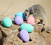 ZSL London Zoo Meerkats Easter 13th April 2017