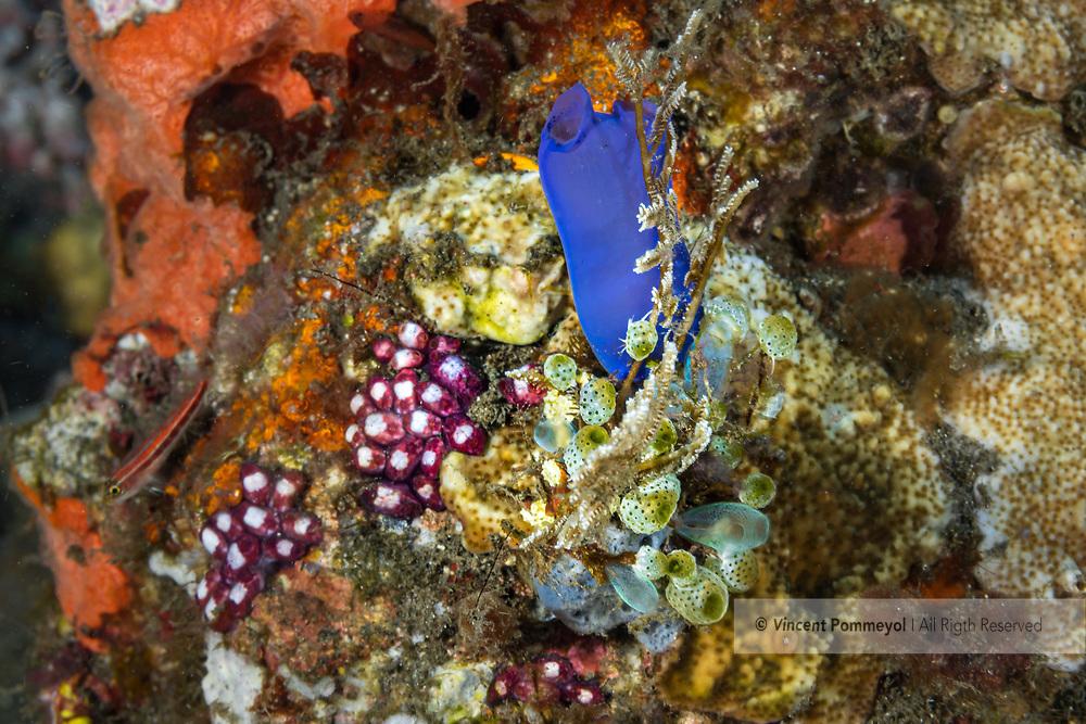 Pipe sponge and reef- Eponge tubulaire et recif (Porifera), Bali island, Indonesia.