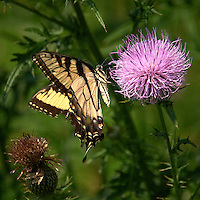 Yellow Swallowtail Butterfly on Thistle Bloom. Sourland Mountain Preserve, Summer Nature in New Jersey. Image taken with a Nikon D700 and 28-300 mm VR lens (ISO 200, 300 mm, f/5.6, 1/2000 sec). Raw image processed with Capture One Pro 6, Nik Define, and Photoshop CS5.