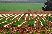 Organic Tomato Field