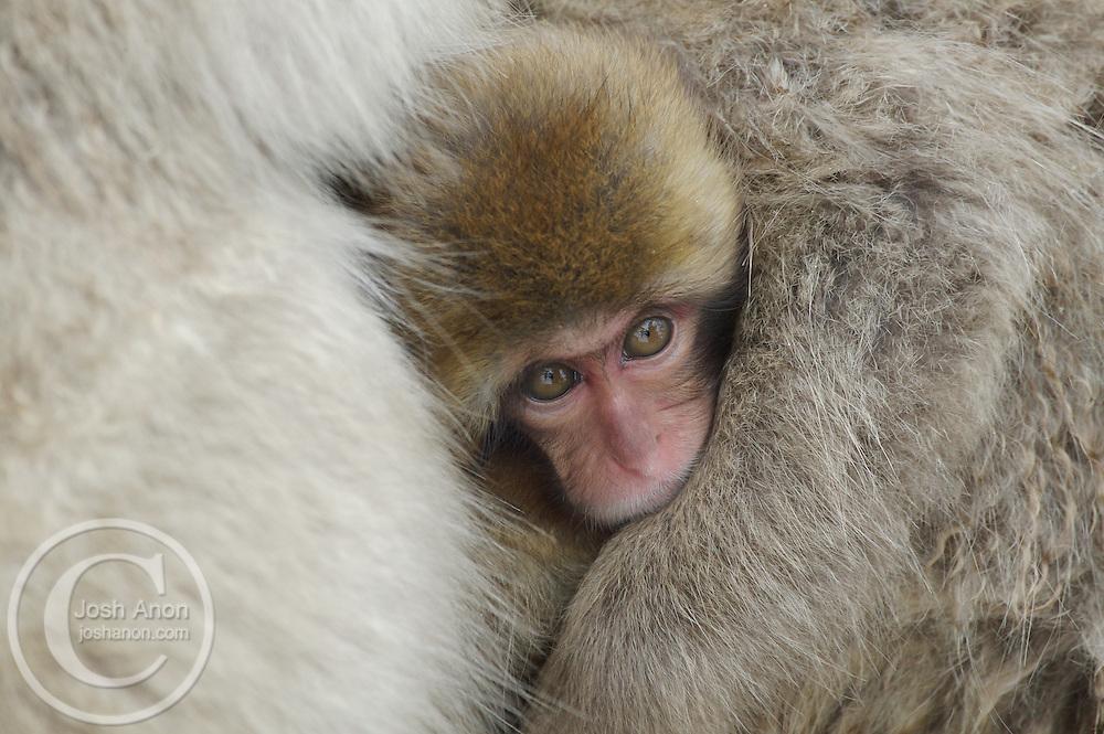 Japan, Jigokudani Monkey Park. A baby snow monkey peeks out through other monkeys at the world. Credit as: © Josh Anon / Jaynes Gallery / DanitaDelimont.com