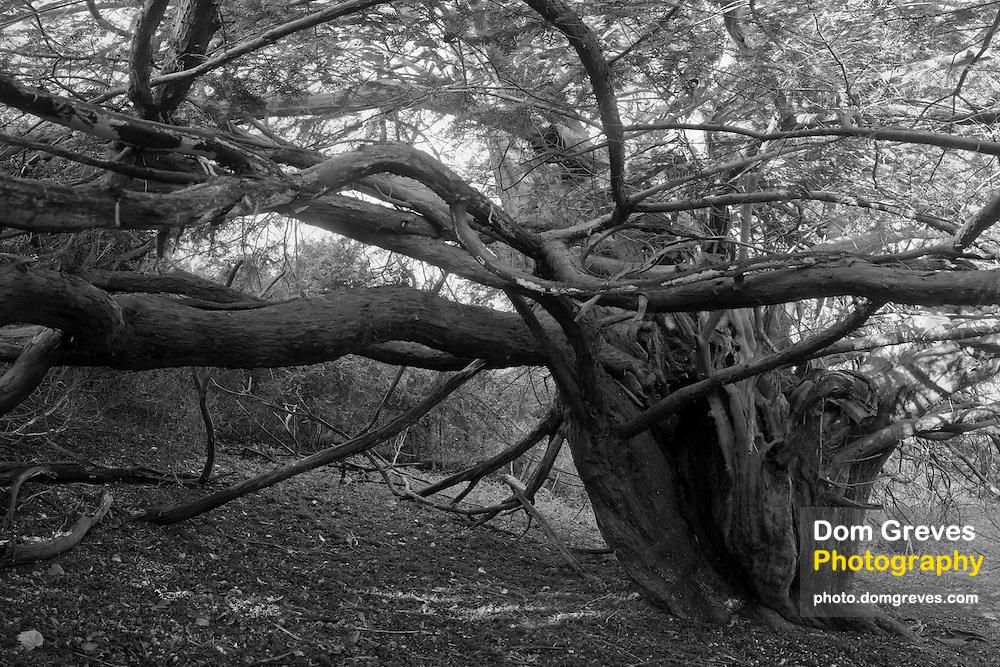 Veteran yew tree (Taxus baccata).  Druids Grove, Norbury Park, Surrey, UK.<br /> <br /> Measured at 18.7 feet or 5.7 metres in girth at the root crown (Norton &amp; Milner, 2012).