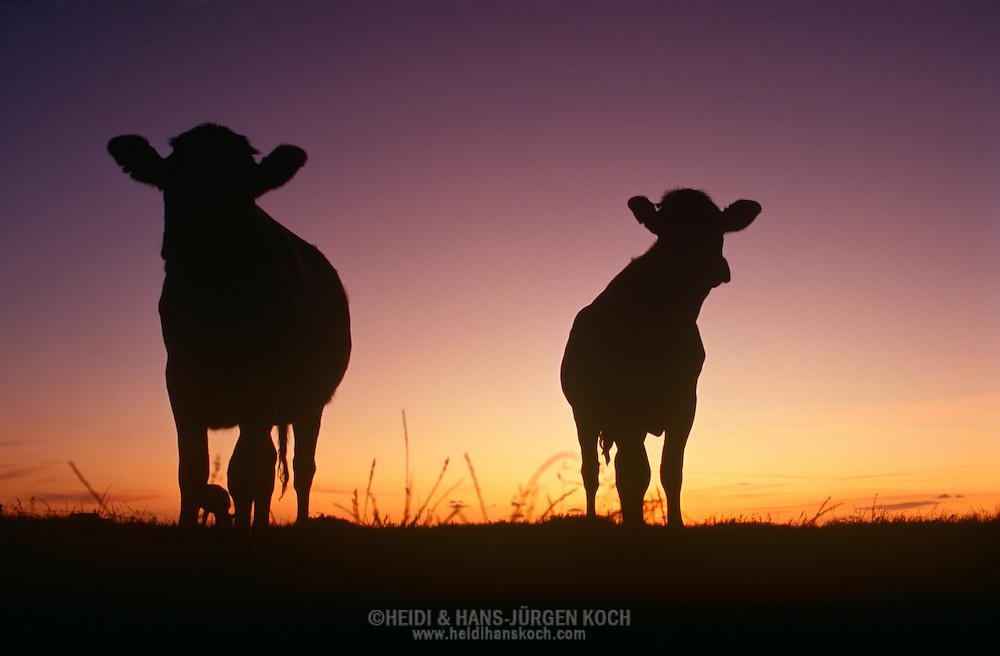 DEU, Deutschland: Hausrind (Bos taurus), zwei Färsen (junge Kühe vor dem ersten Kalben), bei Sonnenuntergang auf dem Deich, nur Silhouetten sichtbar, Rasse: Schwarzbunte, Norddeutschland | DEU, Germany: Domestic cattle (Bos taurus), silhouettes of two heifers (young cow before she has had her first calf) standing on dike meadow in sunset, race: Holstein, Northern Germany |
