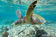 juvenile green sea turtle, Chelonia mydas ( Threatened Species ) swims over shallow reef, Kahaluu or Kahalu'u Beach Park, Kona, Hawaii Island ( the Big Island ), Hawaii, USA ( Central Pacific Ocean )