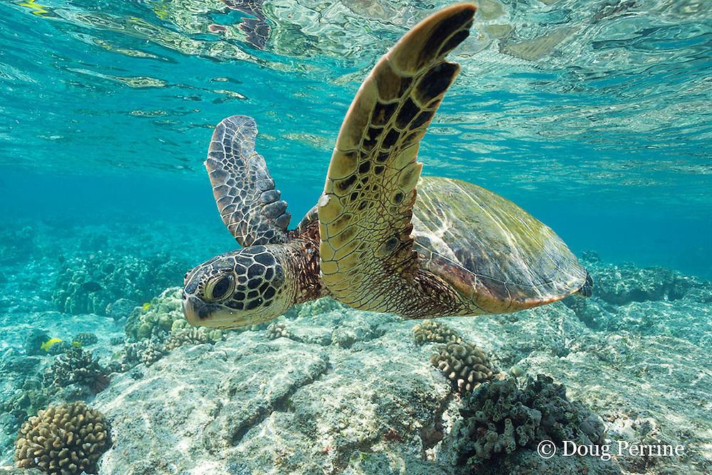 juvenile green sea turtle, Chelonia mydas ( Threatened Species ) swims over shallow reef, Kahaluu or Kahalu'u Beach Park, Kona, Hawaii Island ( the Big Island ), Hawaii, USA ( Central Pacific Ocean )