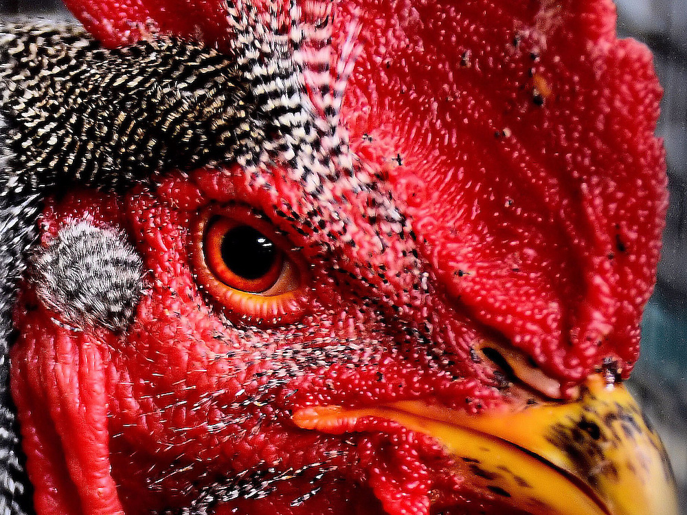 Barred Cochin Bantam Rooster at Minnesota State Fair in Saint Paul, Minnesota<br /> This extreme close-up of an intense, red face belongs to a Barred Cochin Bantam Rooster.  He looks mean but they are actually very calm and tame.  This poultry breed originated in China and was first brought to the U.S. in 1845.  The bantam rooster has a five-pointed crown and weighs about 11 pounds.  This bird won a blue ribbon at the 2012 Minnesota State Fair in Saint Paul, Minnesota.