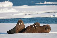 Walrus (Odobenus rosmarus) trio resting on sea ice, Svalbard, Norway.