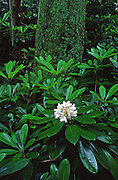 Rhododendron, Alan Seeger Natural Area, Rothrock State forest, Pennsylvania Spring, Pennsylvania Wildflowers,