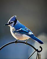 Blue Jay. Image taken with a Nikon D5 camera and 600 mm f/4 VR lens (ISO 1100, 600 mm, f/4, 1/1250 sec)