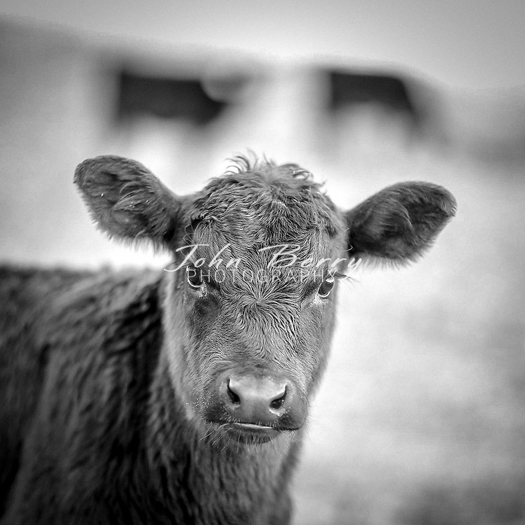 January 6, 2014:   cows and calves