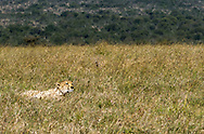 This cheetah was more concerned with the whereabouts of her cubs than with searching for a meal.