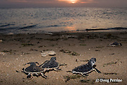 Australian flatback sea turtle hatchlings, Natator depressus, crawl down nesting beach to ocean at sunset, Torres Strait, Queensland, Australia