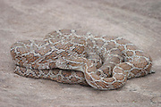 Western corn snake<br /> Elaphe guttata meahllmorum <br /> Controlled situation