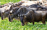 Herd of Blue Wildebeest eating water cabbage, Grumeti, Tanzania