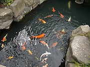 gold fish in a small pound at a shrine Japan