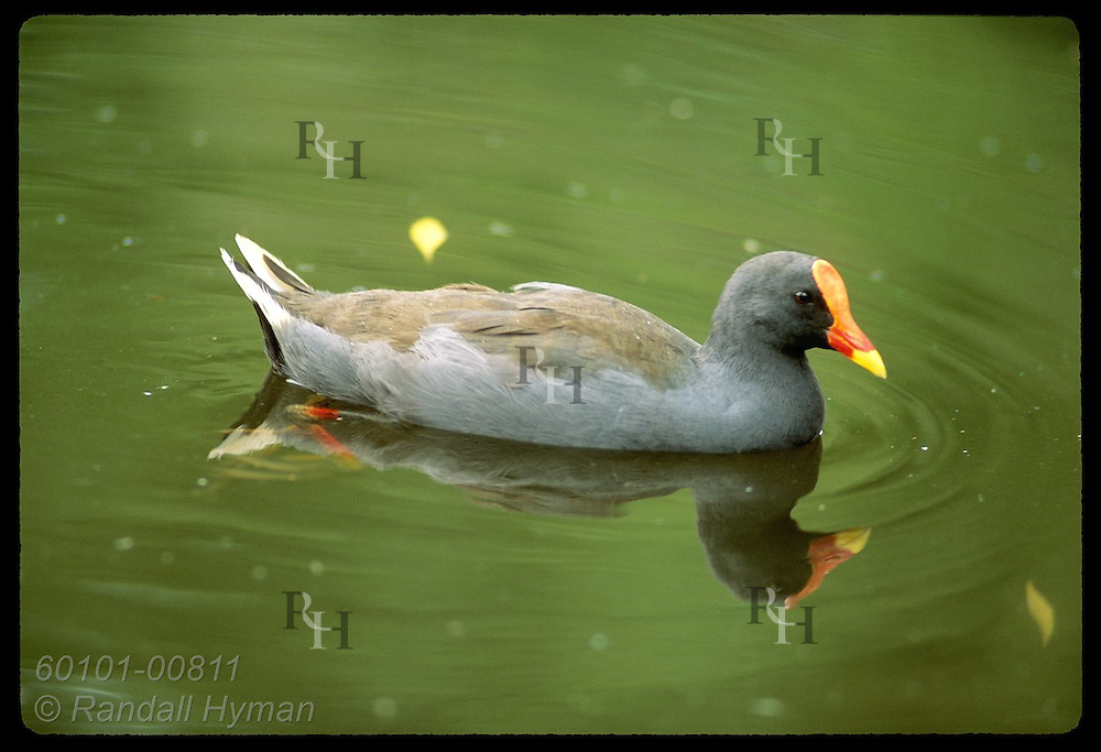 Water hen swims with its own reflection on lagoon in park in Wagga Wagga, New South Wales. Australia