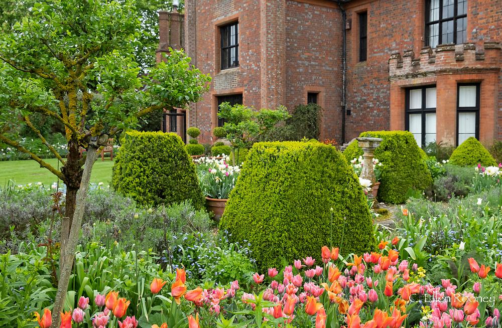 Tulipa 'Green Wave' (pink & green) and Tulipa 'Annie Schilder' around box topiary at Chenies Manor Gardens, Rickmansworth, Buckinghamshire, UK, April