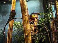 Araçari de beauharnais: Curl-crested aracari (Pteroglossus beauharnaesii). <br /> Considere comme l'un des plus importants parcs ornithologiques en Europe, le Parc des Oiseaux presente une collection d'oiseaux exceptionnelle de plus de 3000 individus, representant pres de 300 especes originaires de tous les continents.