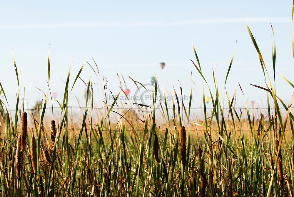 Framed by a foreground of cattails, hot air balloons can be seen taking flight in the distance.  The Gatineau Hot Air Balloon Festival is an annual event in the area.