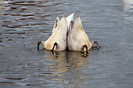 Two swans submerged in a lake searching for food. A pair of swans look for food under the surface of a large pond