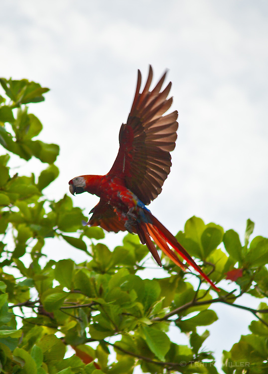 A macaw flies to a tree at Lapa Rios Ecolodge, Osa Peninsula, Costa Rica
