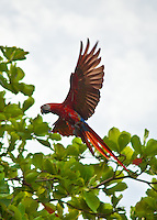 A macaw flies to a tree at Lapa Rios Ecolodge, Osa Peninsula, Costa Rica