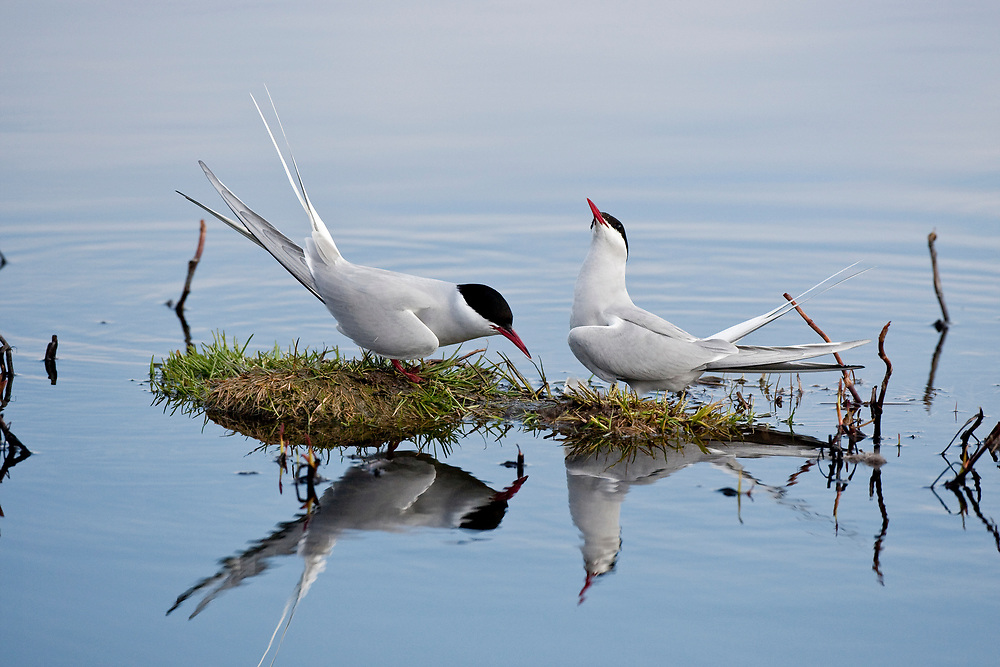 USA, Alaska, Anchorage.  Pair of adult Arctic Terns (Sterna paradisaea) in breeding plumage facing each other in a mating ritual, one with head up, one with head down at Potter Marsh in May.
