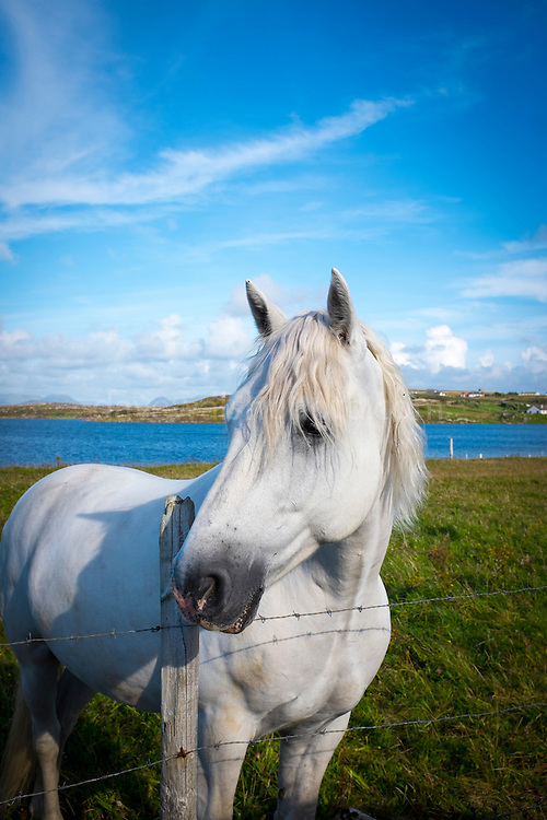 Connemara pony, in a field near Cleggan, Galway, Ireland