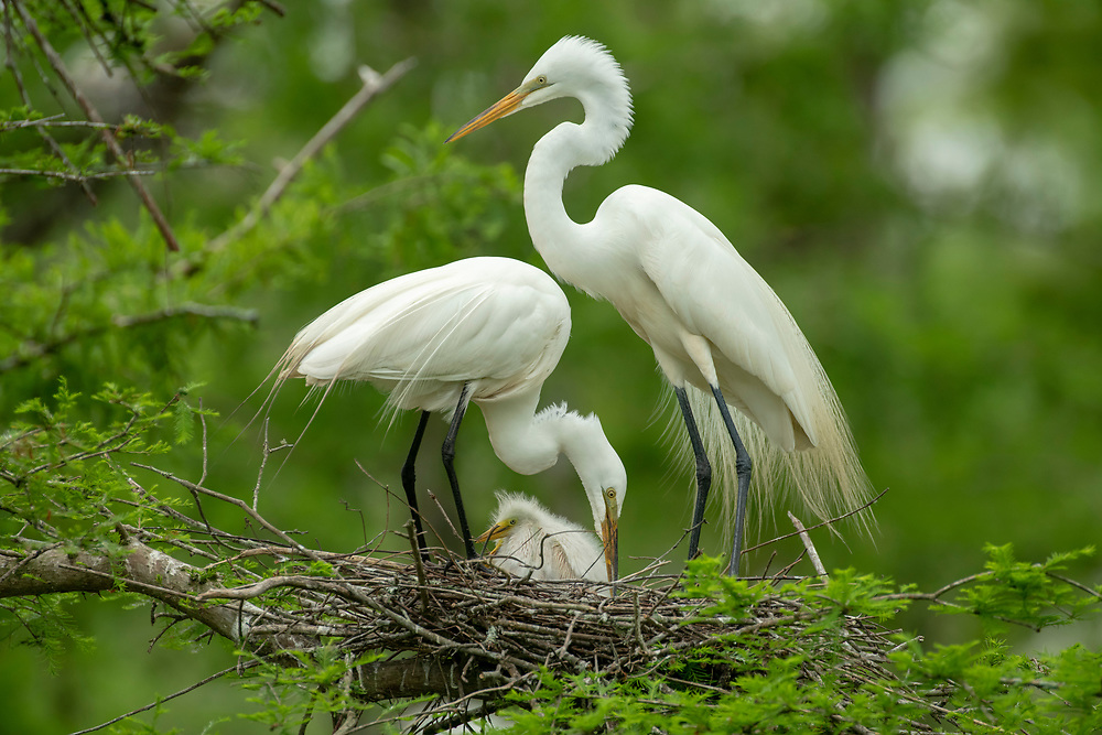 Great Egret Tending its nest