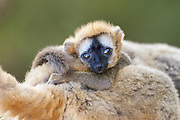 Red-fronted Brown Lemur <br /> Eulemur fulvus rufus<br /> Baby clinging to mother<br /> Berenty Private Reserve, Madagascar