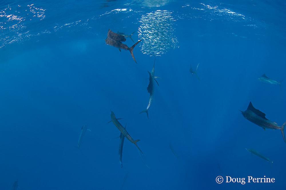 Atlantic sailfish, Istiophorus albicans, attack bait ball of sardines, off Yucatan Peninsula, Mexico ( Caribbean Sea )
