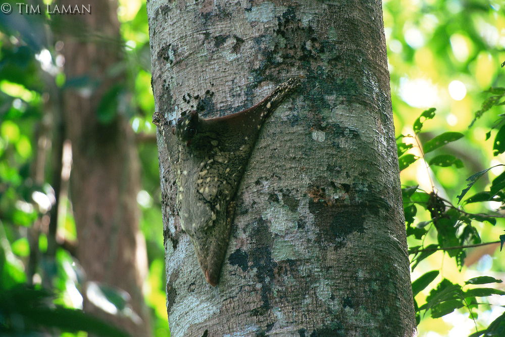 Sunda Flying Lemur (Galeopterus variegatus), also called a Colugo.  Hanging on the side of a tree in the day time..Gunung Palung National Park, West Kalimantan, Borneo, Indonesia
