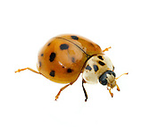 Multicolored Asian Lady Beetle (Harmonia axyridis)<br /> TEXAS: Blanco Co.<br /> Pedernales Falls State Park<br /> 20-May-2012<br /> J.C. Abbott #2592 &amp; K.K. Abbott