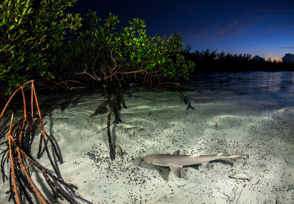 As the sun sets larger sharks often venture into mangroves as well. Lemon sharks depend on mangroves for the survival of the first 5-8 years of their lives. Mangroves are disappearing throughout the world and the fate of the lemon shark is left in the balance. We need to get proper protections for the world's mangroves and then enforce them.
