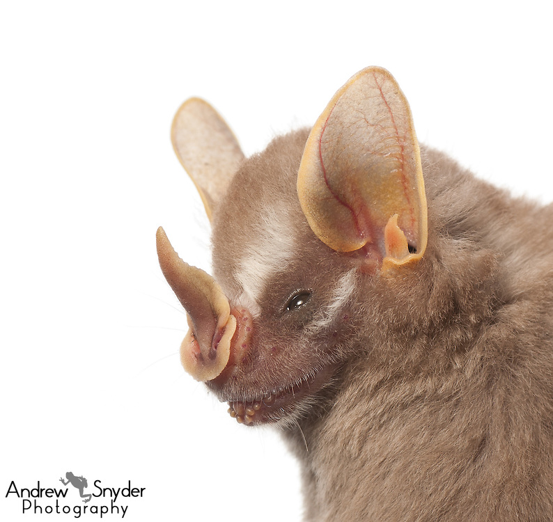Dwarf fruit-eating bat (Artibeus gnomus) - Guyana