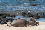 Hawaiian monk seals, Monachus schauinslandi, Critically Endangered endemic species; a 20+ year old male (R306), front, fights with a 5 year old male (RO36), rear, over access to females; west end of Molokai, Hawaii